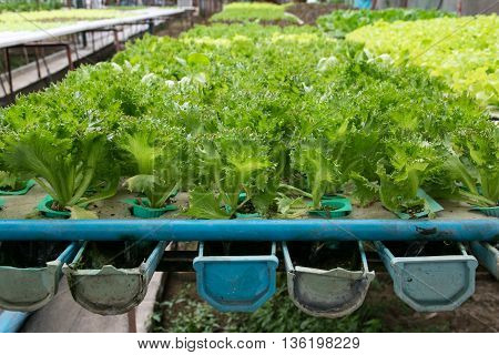cultivation hydroponics green vegetable in farm. hydroponic, farm