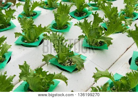 cultivation hydroponics vegetable in farm. hydroponic, farm