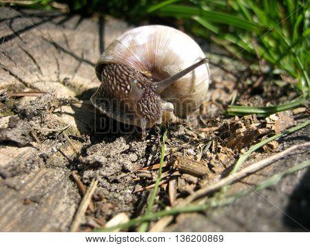Snail on the stump just looking around