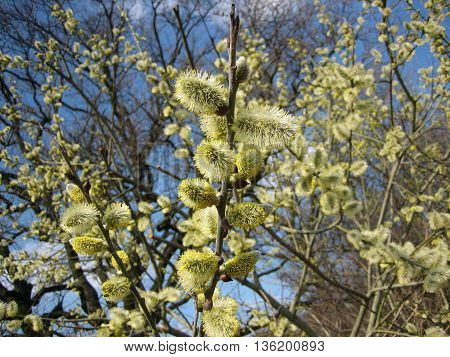 Interesting fluffy willow buds in spring forest
