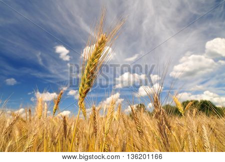 Close up of barley plant on a bright sunny day