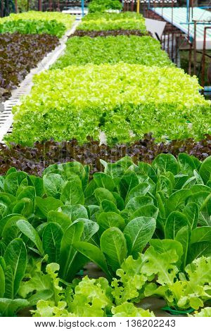 Hydroponic vegetables growing in greenhouse. hydroponic, farm, green