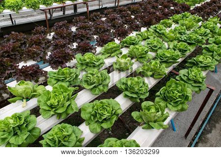 Hydroponic vegetables growing in greenhouse, hydroponic, farm,
