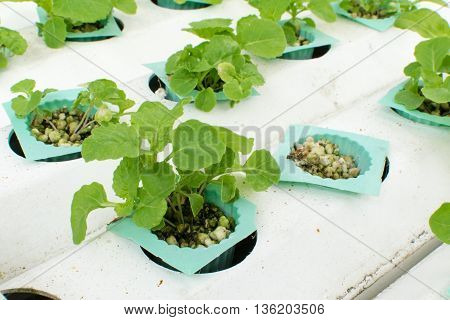 cultivation hydroponics vegetable in farm. hydroponic, vegetable, farm,