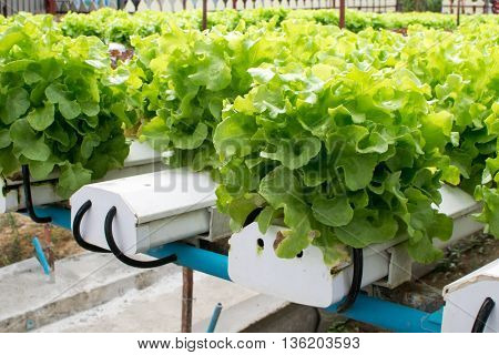cultivation hydroponics green vegetable in farm. hydroponic, farm, green,