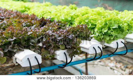 cultivation hydroponics green vegetable in farm, hydroponic, farm, green, garden,