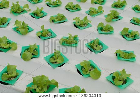 cultivation hydroponics vegetable in farm, hydroponic, farm,