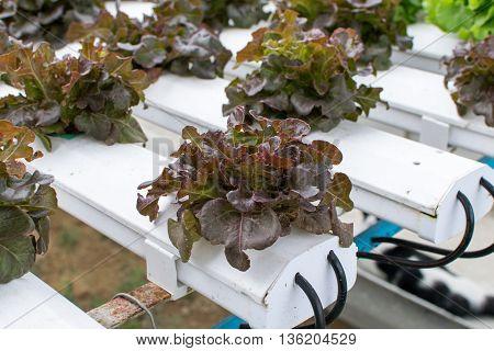 cultivation hydroponics green vegetable in farm. hydroponic, farm, green