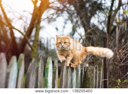Fluffy ginger tabby cat walking on old wooden fence in autumn garden outdoor