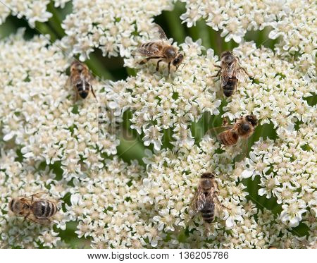 Some bees collecting pollen on white flowers