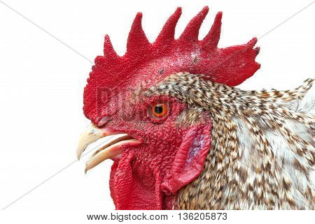 Plymouth rock Rooster isolated on white. Close up