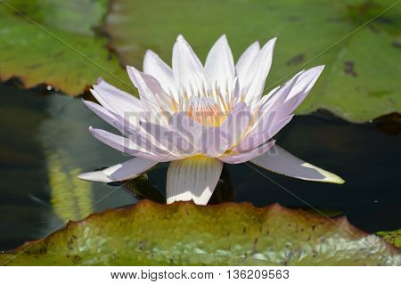 A water lily floating on the water