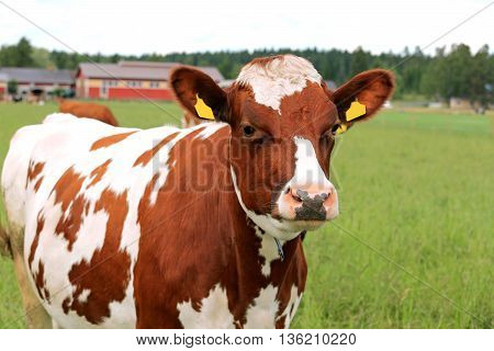 Close up of a cow standing on green field with farmstead background, shallow dof.