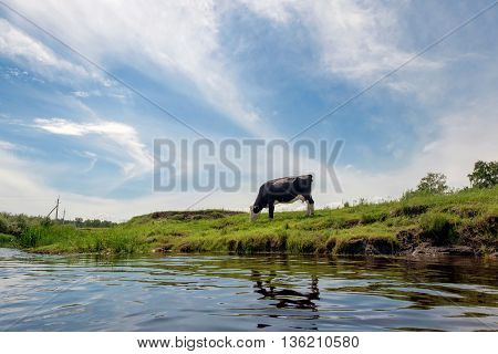 Cow Eats Grass Of The River