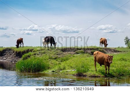 Cows Eat Grass By The River