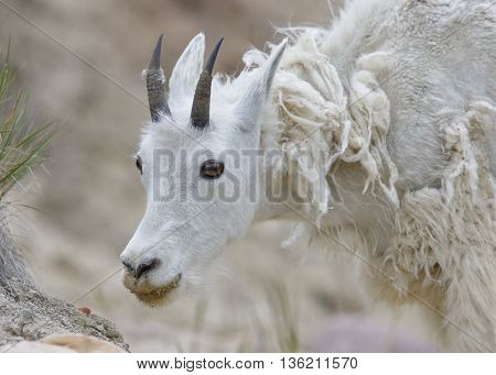 Mountain Goat Shedding Its Winter Coat - Jasper National Park