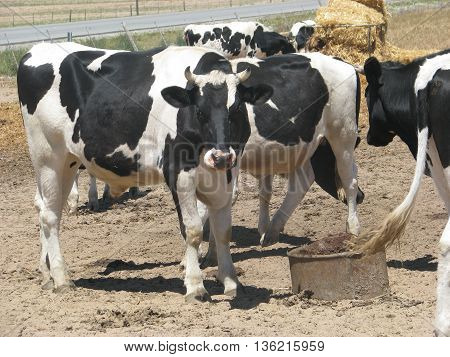 Cattle Grazing, West Coast South Africa