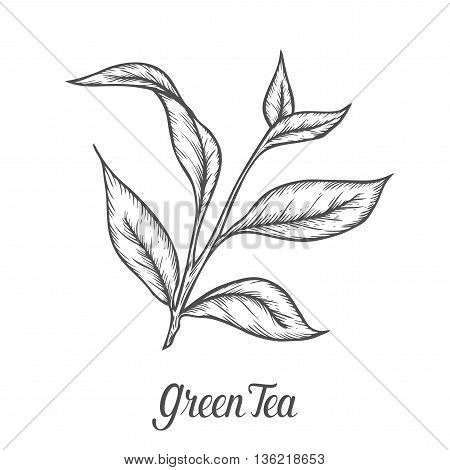 Green Tea Plant, Leaf. Hand Drawn Sketch Vector Illustration. Floral Branch Organic Lineart. Chinese