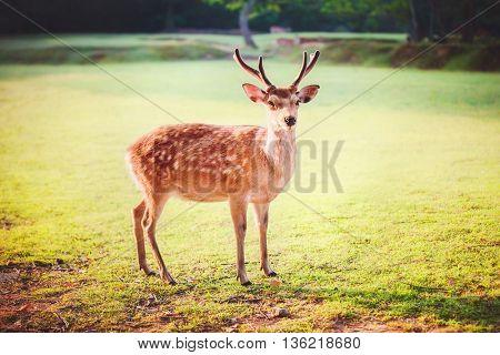 Sacred sika deer at Nara park in the morning, Nara, Japan