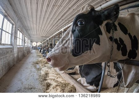 Black And White Cows Inside Stable View