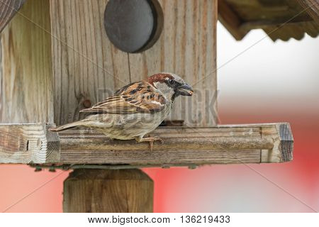 Male House Sparrow bird in gray brown white with food seed in its beak on a wooden house feeder during summer in Europe