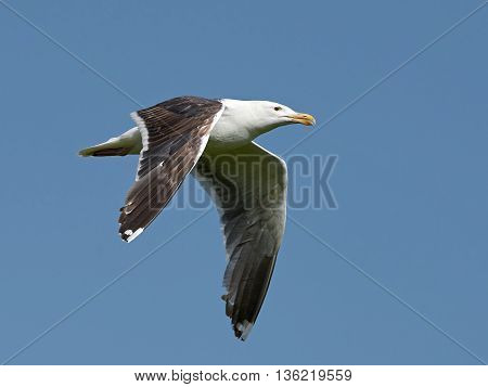 Great black-backed gull in flight with blue skies in the background