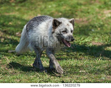 Arctic Fox (Alopex Lagopus) at springtime in its habitat