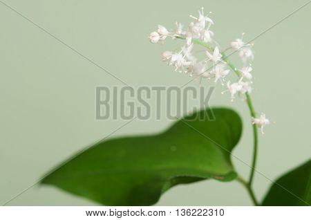 Maianthemum bifolium flowers macro shot local focus