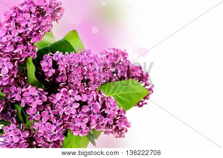 Lilac branch on a white background. flower