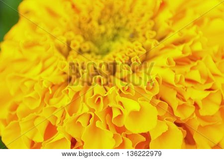 Petal of yellow marigold flower Close-up photo of petals flower.