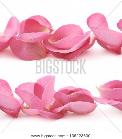 Line of pink rose petals isolated over the white background, close-up crop fragment as a backdrop composition, set of two different foreshortenings