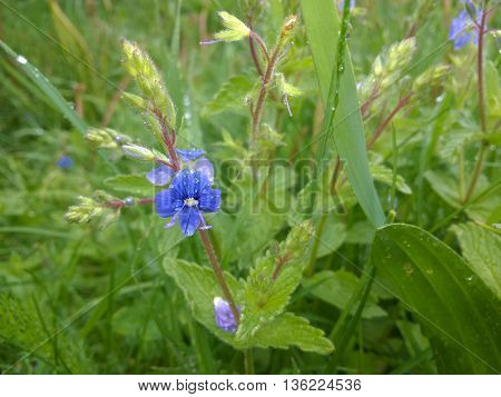 Macro picture of Forget-me-not (Myosotis) on green background