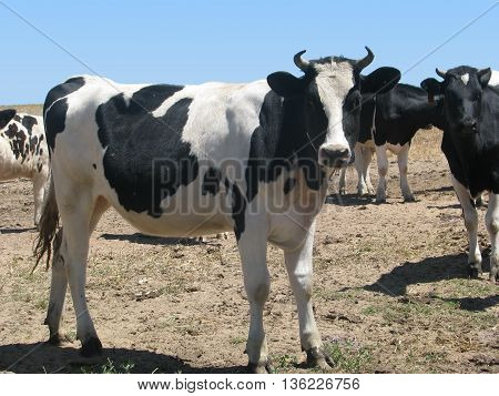 Cattle Grazing, West Coast South Africa 08b