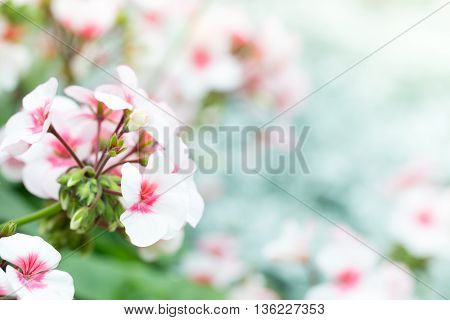 soft focus of bicolor white and pink geranium flowers on blurred background on spring season. macro shot with copy space.