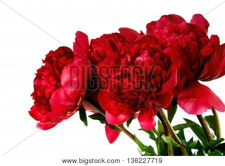 peony flower isolated on white background. flower