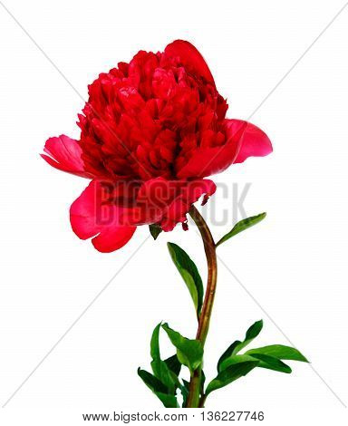 pink peony isolated on white. flower .