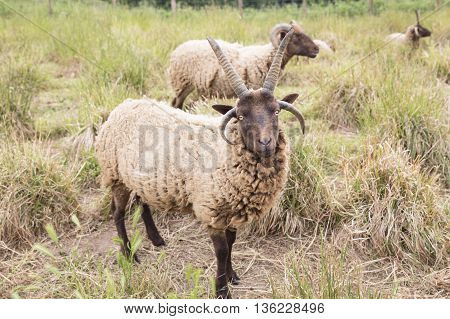 Jacobs sheeps on a meadow in summer