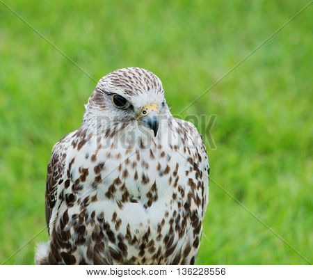 Close up of a falcon bird of prey