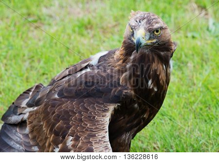 close up portrait of a golden eagle