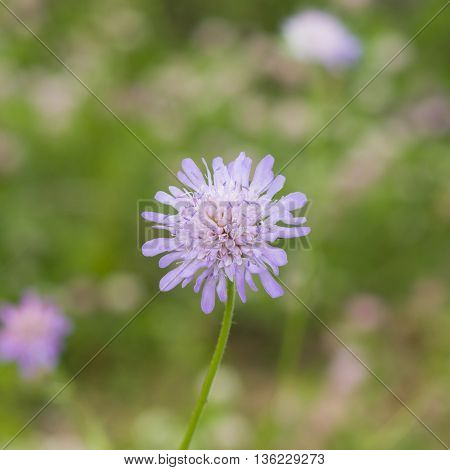 Flower of Field Scabious Knautia Arvensis with dark bokeh background macro selective focus