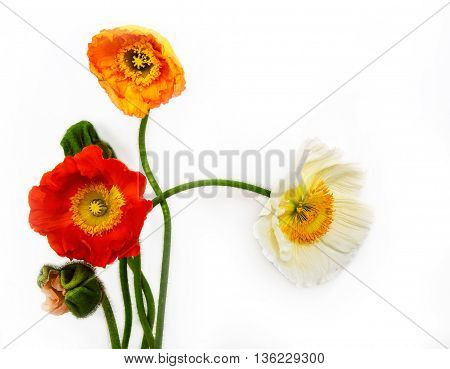 poppies Isolated on white background. flower .