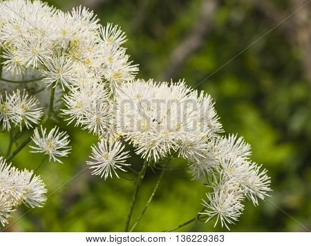 Columbine meadow-rue Thalictrum aquilegifolium flowers with bokeh background macro selective focus shallow DOF