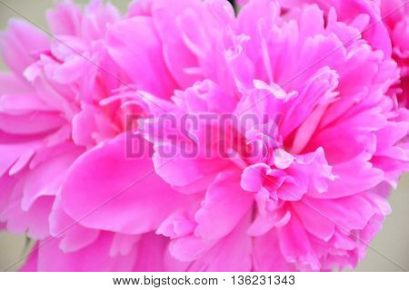 Gentle pink peony, macro view. Photo may be used for any decoration.
