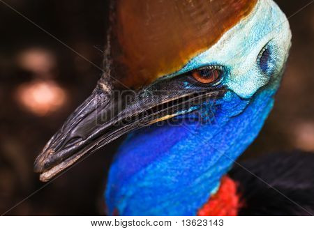 Portrait of the massive flightless bird, the Cassowary