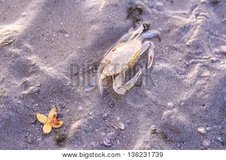 Three spot swimming crab on the beach Portunus sanguinolentus