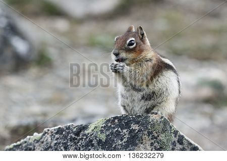 A Golden-mantled Ground Squirrel (Callospermophilus lateralis) nibbles on some plants while perched on a rock - Jasper National Park Alberta Canada