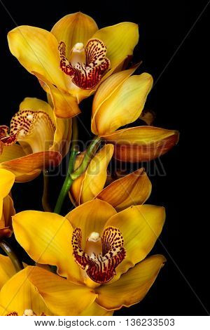yellow orchid isolated on black background. flower