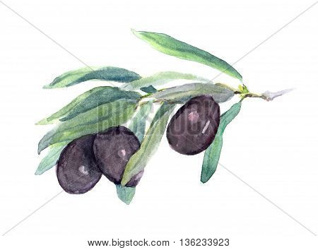 Olive branch with black olives vegetables and leaves. Watercolor
