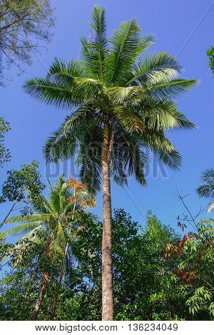 coconut tree with nuts in Thailand forest