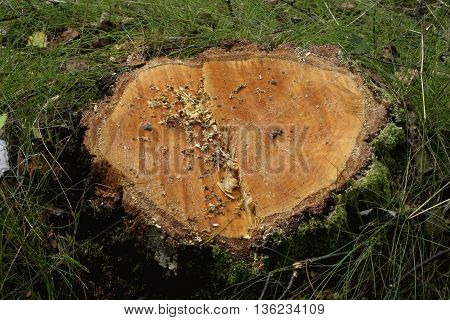 the stump clipped a tree in the forest